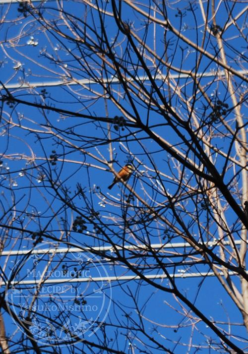 東京都 ナンキンハゼに止まる冬のヤマガラ