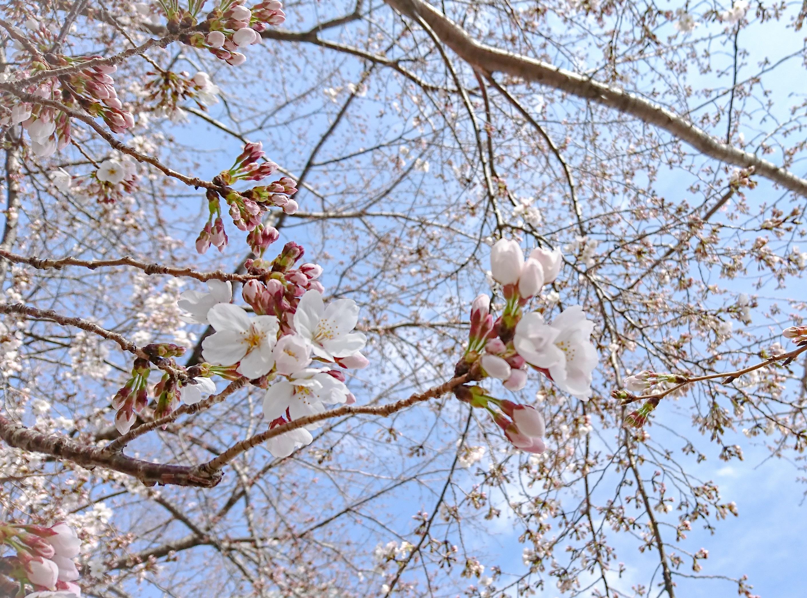 東京都 ソメイヨシノ 桜